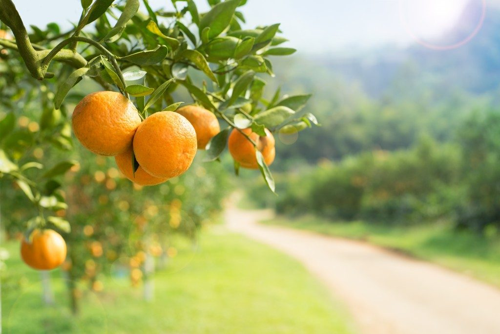 Orange tree in a farm
