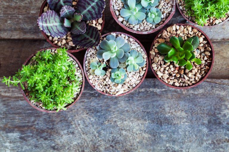 pots of succulent plants